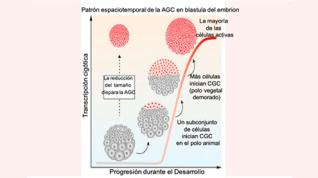El tamaño de las células provoca el despertar del genoma en los embriones