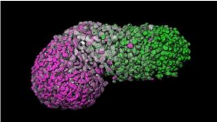 Modelo de embrión humano creado a partir de células madre humanas